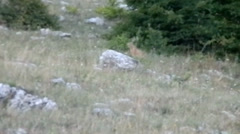Hare on the slope of Mount Chater-Dag Stock Footage