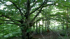 Sessile oak and a tent in the meadow mountain Chater-Dag Stock Footage