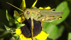 Amid Nature - Close-up of a Large Grasshopper on Black Eyed Susan Flower Stock Footage