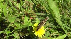Amid Nature - Buckeye (coenia junonia) Butterfly on Dandelion Stock Footage