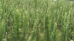 Stock Video Footage of Field of ripening wheat, slow motion shot at 240fps