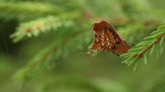 Araneus diadematus spider hiding Stock Footage