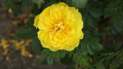 Yellow tea rose Stock Footage
