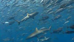 Multiple sharks swim through school of silver fish Stock Footage
