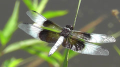 Amid Nature - Widow Skimmer Dragonfly Stock Footage