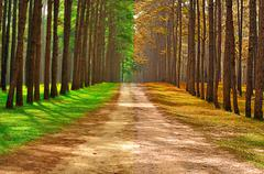 a pine forest taken in the morning at thailand - season change concept - stock photo