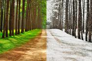 Stock Photo of a pine forest taken in the morning at thailand - season change concept
