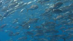 Sharks swim stealthily through school of fish Stock Footage