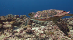 Hawksbill Turtle swims over coral reef Stock Footage