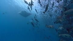 Fish Manta Rays and SCUBA Divers Stock Footage
