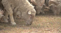 huge herd of sheep on the field 4 Footage