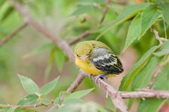 Stock Photo of flapper striped tit-babbler in nature.