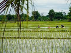 Rice cultivation. Stock Photos