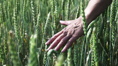 Female hand brushing over the heads of ripening wheat, slow motion shot  240fps Stock Footage