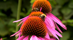 Echinacea Flower (1) Stock Footage