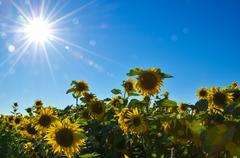sunbeams over sunflowers - stock photo