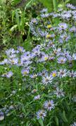 Aster perennial blue - stock photo