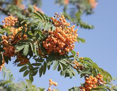 Ashberry Stock Photos