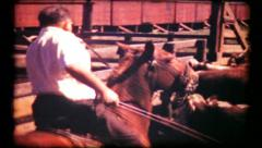 374 - rancher working cattle in the corral - vintage film home movie Stock Footage