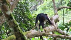 White faced monkey walking on a branch Stock Footage