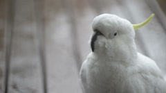 Curious cockatoo Stock Footage