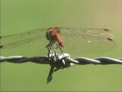 Dragonfly on barbed wire, flies away and lands, showing transparent wings Stock Footage