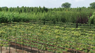 Stock Video Footage of High angle view of tree nursery, deciduous trees and espaliers  - vehicle shot