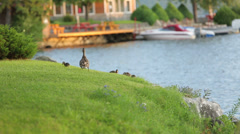 Ducklings on grassy area Stock Footage