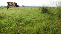 Field with cows jib shot Stock Footage