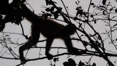 Spider monkey jumps from tree to tree Stock Footage