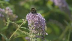 Bumble Bee on Buddleia Stock Footage