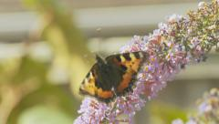 Butterfly on Buddleia - Small Tortoiseshell - stock footage