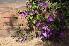 Beutiful violet clematis Stock Photos