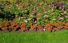 flowerbed with geranium flowers - stock photo