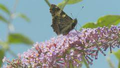 Butterfly on Buddleia - Small Tortoiseshell 2 Stock Footage