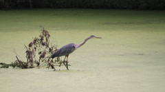 Blue Heron Catcher small prey fish - stock footage
