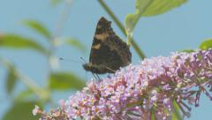 Butterfly on Buddleia - Small Tortoiseshell 3 - stock footage