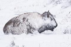Stock Photo of bison in winter storm