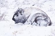 Stock Photo of bison in blizzard