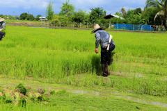 Farmer working rice plant  in farm of thailand Stock Photos