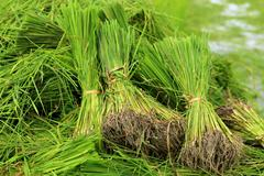 Rice sprouts plant in thailand Stock Photos