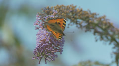 Butterfly on Buddleia - Small Tortoiseshell 6 Stock Footage
