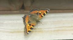 Butterfly Sunning Itself - Small Tortoiseshell Stock Footage