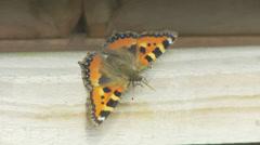 Butterfly Sunning Itself - Small Tortoiseshell - stock footage