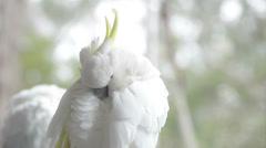 Cockatoo preening Stock Footage