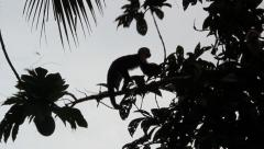 Slow motion white faced monkey tree jump Stock Footage
