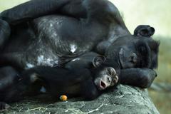 Common chimpanzee (pan troglodytes) with a cub Stock Photos