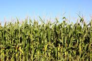 Cornfield Stock Photos