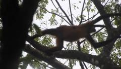 Spider monkey with baby going through tree tops Stock Footage