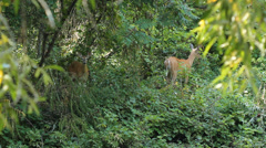 Two deer feeding in the forest. - stock footage